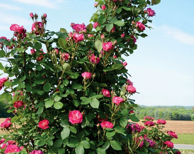 Cancan™ Rose Bush - Continuously Blooming Climbing Rose Magenta Flowers - Grown Organic Potted Own Root