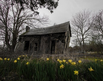 Daffodil Print, Rustic Building, Daffodil Photography, Daffodil Art, Jonquil Art, Jonquil Photography, Rustic Flowers Art, Arkansas Art