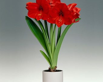 Large Flowering Amaryllis, Red Lion ( Bulbs) Indoor or outdoor ,Perennial-Now Shipping !