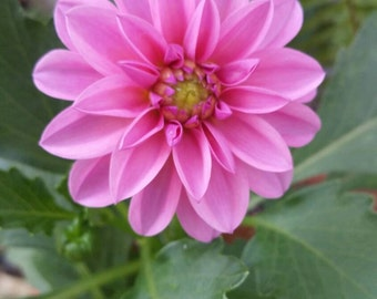 Download-able Pink Flower digital photo