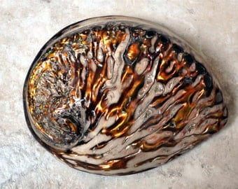 "Polished Copper Midas Abalone Seashell (5-6"") - Haliotis Midae"
