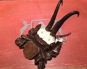 Chamois Goat Trophy Horns