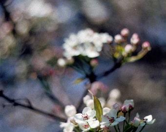 White Flowering Crabapple Film Print