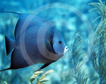 Grey Angelfish Photo, U.S. Virgin Islands, Digital Download, Underwater Photography, Ocean, Beach, Fish Pictures, Wall Decor