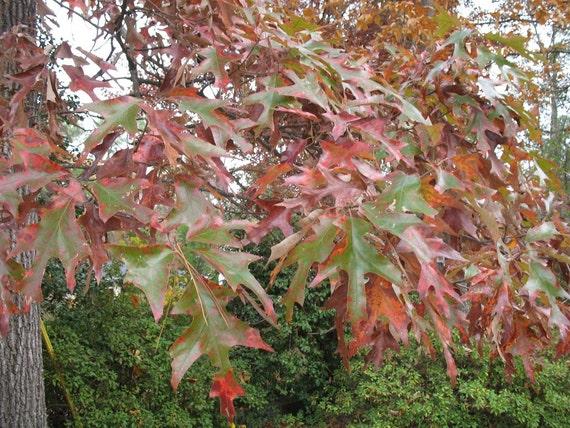 Cherrybark oak treesquercus pagodifolia bareroot
