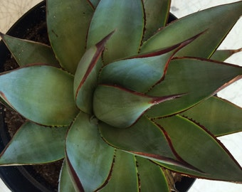 Mature Succulent Plant Mature Agave Blue Glow. Gorgeous Agave with unique coloring.