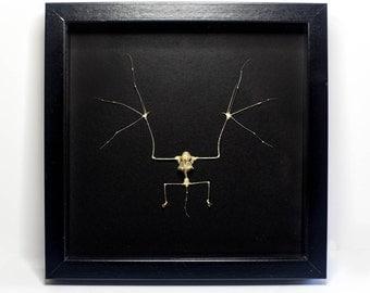 REAL Insect Bat Skeleton Framed UK - Teeth, Skull, Human-Like, Bones Taxidermy