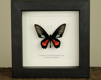 Anchises Cattleheart Butterfly in Box Frame (Parides anchises nephalion)