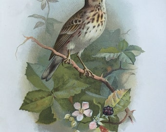 Antique Original Print 1901 Britsh Birds Tree Pipit
