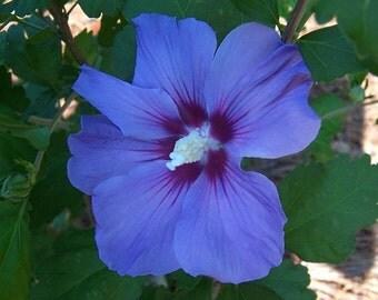 Blue Satin Hibsicus Rose of Sharon syriacus