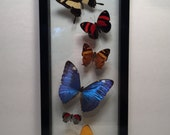 Real Framed Butterfly Collection