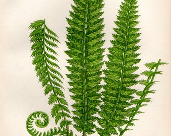 Authentic 1898 ANTIQUE FERN PRINT Chromolithograph Book Plate