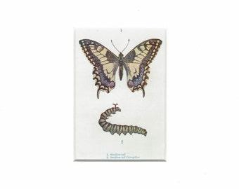 Swallow-tail butterfly/ caterpillar