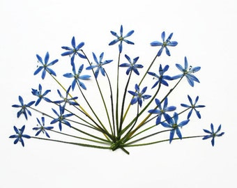 Real pressed glory-of-the-snow flowers for scrapbook lovers