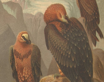 "1898 Antique Bird Print ""Lammergeyer"" Chromolithograph"