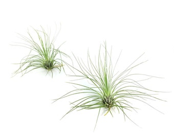 Tillandsia Filifolia Air Plant (small) // Hello Tilly Airplant