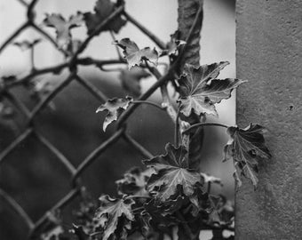 Ivy Digital Photo - Ivy Photo - Urban Nature - Botanical Photo - Black and White - Square - Digital Photo - Digital Download - Wall Decor