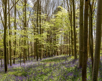 Bluebell Woods A4 fine art print in 14 x 11 inches in Ice White Mount, bluebell nature flower spring photo print by R&M Photography