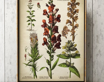 Botanical poster, medicinal plants and flowers print, botanical print, botanical chart, scientific illustration, snapdragon, Night and Day