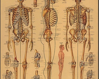 The Skeletal System Wrapping Paper by Cavallini to Frame or for Wrapping, Book Binding, Decoupage, Collage, Scrapbooking, Paper Arts & MORE