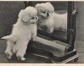 Postcard PEKINGESE PUPPY Black & White Photo VINTAGE