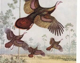 1940s Florida Wild Turkey Bird Print -  Vintage Antique Home Decor Book Plate Art Illustration for Framing