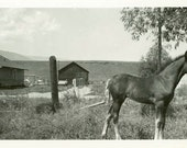 "Vintage Photo ""New Farm Addition"" Farm Animal Horse Colt Snapshot Old Photo Black & White Photograph Found Paper Ephemera Vernacular - 113"