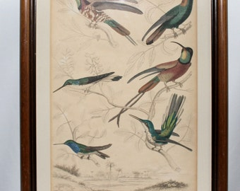 Original Antique Framed Hummingbird Trochilus Scientific Naturalist plate hand colored lithograph print engraving