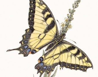 Western Tiger Swallowtail Original Pen and Ink Drawing