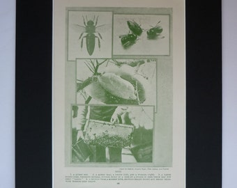 1930s Antique Bee Print, Available Framed, Honey Art, Beekeeping Gift for Beekeeper, Beehive Wall Art, Old Insect Decor, Entomology Picture