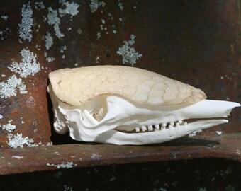 Armadillo Skull 007