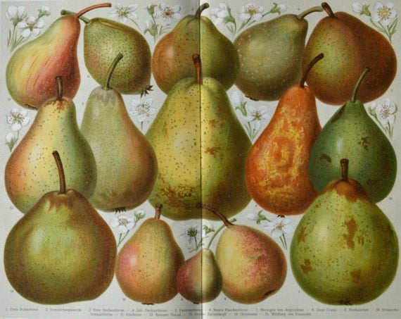 Pears print. Botany print.  Old book plate, 1904. Antique illustration. 111 years lithograph. 9'6 x 11'7 inches.