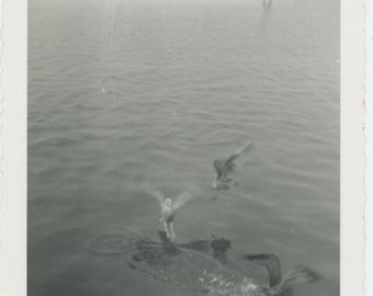 Birds on Water, c1950s Vintage Snapshot Photo (66477)