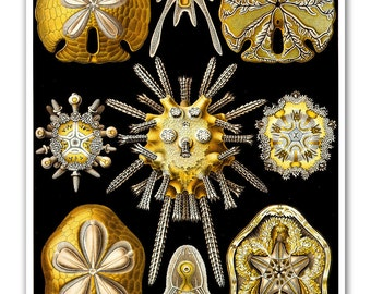 Sea Urchins Print, Sand Dollar Poster, Nautical Art Poster, Seashells from Vintage Ernst Haeckel Scientific Illustration, Beach House Decor