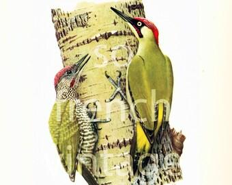 1961 Green Woodpecker, vintage Bird Print, Ornithology, Natural history, nature wall art