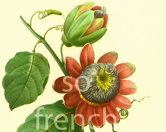 Passiflora alata Passion Flower print Large size Redoute Botanical illustration French vintage