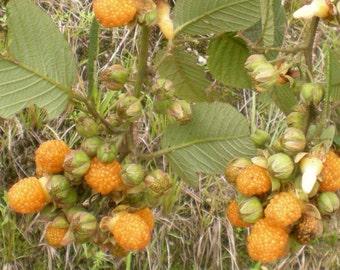 YELLOW Raspberry, Rubus Ellipticus, 10 seeds