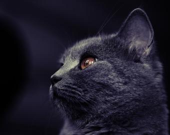 british cat photography print, beautiful, awesome