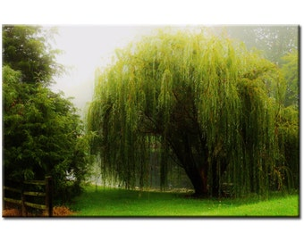 Willow - Nature Photography Print