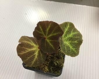 "Begonia ""Solimutata"""