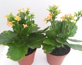 "Two Christmas Rosebud Orange Kalanchoe' - Calandivia - 4"" Pot (FREE SHIPPING!)"
