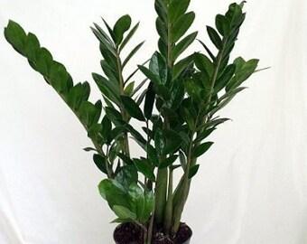 "Rare ZZ Plant - Zamioculcas zamiifolia - House Plant - 6"" Pot (FREE SHIPPING)"