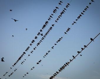Blackbirds on wires