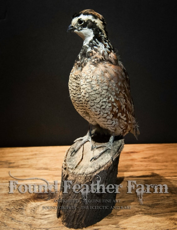 Taxidermy Bob White Quail Specimen on a Wooden Post