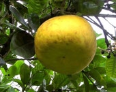 """Free Delivery! Pummelo - 24"""" Tall """"Live Florida Citrus Tree, USDA approved nursery stock"""""""