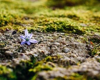 the lone flower: fine art print