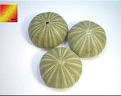 "Set of 3 Green Sea Urchins (2"") for Crafts, Airplants and Beach Cottage Decor"