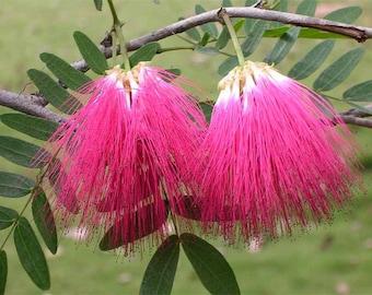 Free shipping! Albizia, Persian Silk Tree, Mimoza Seeds. 12 seeds