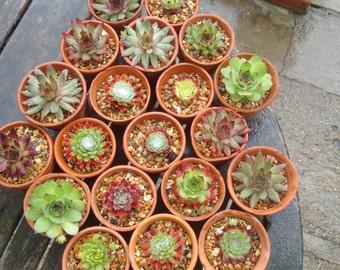 Mixed Sempervivum in 1920s reclaimed terracota pots,Houseleeks,Alpine,Rockery,Fairy gardens etc