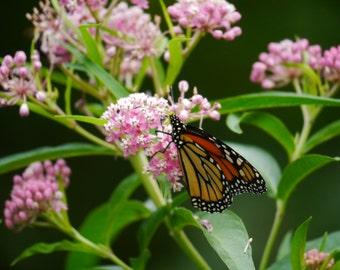 Swamp Milkweed (50 thru 1600 seeds) rose pink butterfly weed silk FRIDGE
